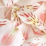 Closeup petals of alstroemeria — Stock Photo