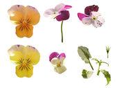 Viola flowers — Stock Photo