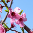 Fruit tree blossom — Stock Photo