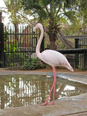 Flamingo in the Zoo — Stock Photo