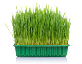 Grass in pot — Stock Photo