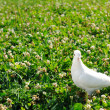 White dove — Stock Photo #3461324