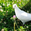 White dove - Stock Photo