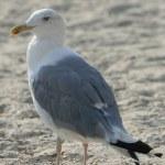 Gull — Stock Photo #3073122