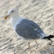 Gull — Stock Photo #3073281