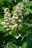 Chestnut flowers — Stock Photo