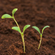 Three green seedlings growing — Stock Photo #2695333