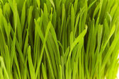 Extreme close up of fresh grass blades — Stock Photo