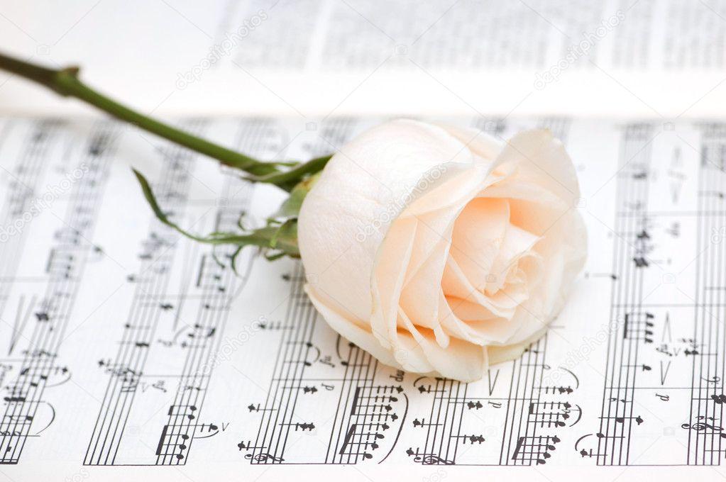Фото белая роза скачать