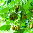 Big cluster of kiwi fruit on the tree — Stockfoto