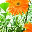 Orange gerbera flower agaisnt green - Stock Photo