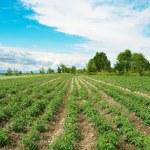 Tomato field on bright summer day — Stock Photo