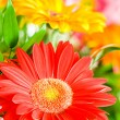 Gerbera flowers agaisnt green — Stock Photo #2874901