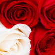 Red and white roses isolated — Stock Photo