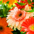 Gerbera flowers agaisnt green — Stock Photo
