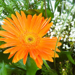 Orange gerbera flower agaisnt green — Stock Photo