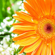 Orange gerbera flower agaisnt green — Stock Photo #2878184