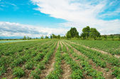 Tomato field on bright summer day — Stock Photo