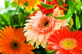 Gerbera flowers agaisnt green — Stock Photo