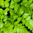 Fern leaves as a background - Stock Photo