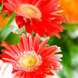 Gerbera flowers agaisnt green - Stock Photo