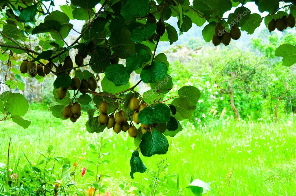 Big cluster of kiwi fruit on the tree stock photo for Kiwi albero