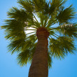 Palm tree — Stock Photo #2965109