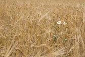 Field of a ripe rye — Stock Photo