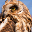 Closeup portrait of an owl.  Asio flammeus - Stock Photo