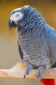 Grey parrot of Zhako (Psittacus erithacus) — Stock Photo