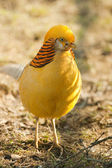 Gorgeous golden pheasant — Stock Photo
