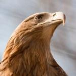Steller's sea eagle — Stock Photo #3901446