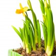 Stock Photo: Lent lily