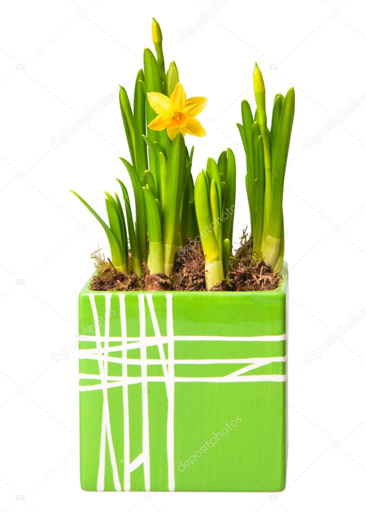 Lent lily (daffodil) isolated on white — Stock Photo #2766433