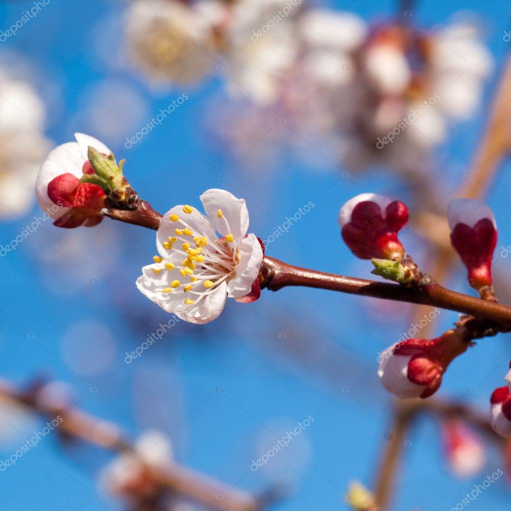 樱桃树 — 图库照片08loskutnikov#2892879