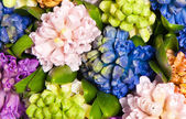 Hyacinth — Stock fotografie