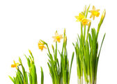 Lent lily — Stock Photo