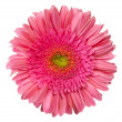 Close up view of pink daisy - Stock Photo