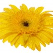Close up view of yellow daisy — Stock Photo #5116848