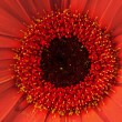 Close up view of red daisy — Stock Photo #5116879