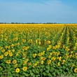A field of sunflowers on blue sky - Stock Photo