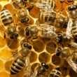 Bees on honeycells - Stock Photo