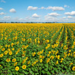 A field of sunflowers on blue sky — Stock Photo