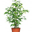 Green ficus tree in a brown pot. - Stock Photo