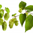 Hop isolated on white - Foto de Stock  