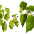 Hop isolated on white - Photo