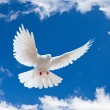Dove in the air with wings wide open - Stockfoto