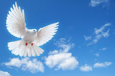 Dove in the air with wings wide open — Foto Stock