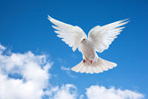 Dove in the air with wings wide open — Photo