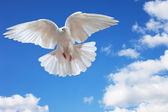Dove in the air with wings wide open — ストック写真